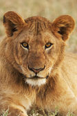 Portrait of a young lion vertically — Stock Photo