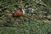 African Jacana in the reeds — Stock Photo