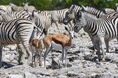 Springboks and zebras — 图库照片
