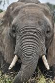 大象画像 — 图库照片