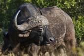 Retrato de búfalo-africano — Foto Stock
