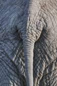 Elefante volta — Foto Stock