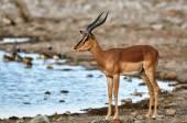 Black faced impala — Stock fotografie