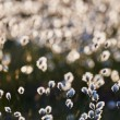 Intentionally blurred cotton grass flowers in back light — Stock Photo #66843681