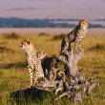 Cheetah mom and cubs — Stock Photo #67545315