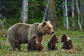 Mother bear and cubs — Stock Photo