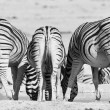 Постер, плакат: Three zebras photographed from behind