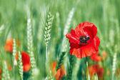 Poppy in a field of wheat — Stock Photo