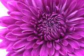 Closeup fialové pozadí Flower chryzantéma — Stock fotografie