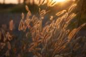 Pennisetum flower in warm sunset — Stock Photo