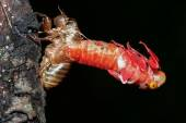 Cicada (Hemiptera: Cicadidae) changing its skin — Stock Photo