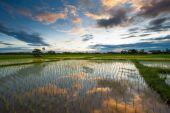 Rice field at sunset, Thailand — Stockfoto