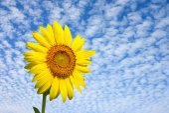 Sunflower with sky — Stock Photo