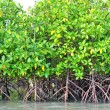 Постер, плакат: Mangrove plants nature