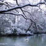 Swan lake in winter scene — Stock Photo #52449277