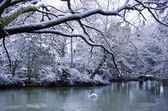 Swan lake in winter scene — Stock Photo