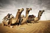 Camellos descansando en desierto — Foto de Stock