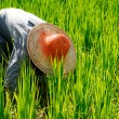 Farmer harvesting rice — Stock Photo #52460123