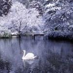 Swan lake in winter scene — Stock Photo #52461279