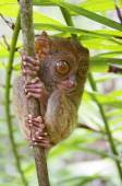Tarsier in Philippines — Stock Photo