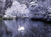 Swan lake in winter scene — Stock Photo