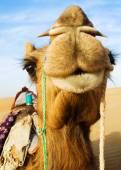 Camello feliz sonriendo — Foto de Stock