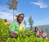 Women tea pickers in Sri lanka. — Stock Photo