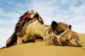 Camel in Thar Desert — Stock Photo