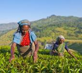 Sri Lankan Women Picking Tea Leaves — Stock Photo