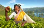 Indigenous Sri Lankan tea picker — Stock Photo