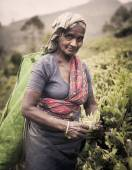 Tea picker picks leaves — Stock Photo