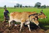 Cambodian local farmer ploughing the soil — Stock Photo