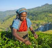 Tea picker picking tea — Stock Photo