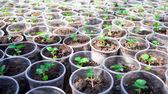 Herb seedlings growing in cans — Stock Photo