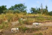 Sheep resting grass in summer — Stock Photo