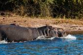 Hippos running into the water — Stock Photo