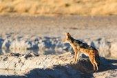 Black backed jackal observe water hole — Stock Photo