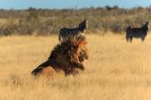 Lion resting, no need to catch zebra — Stock Photo