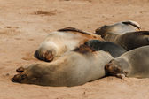 Cape fur seal group resting — Stock Photo