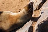 Cape fur seal warming up — Foto Stock