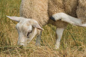 Sheep multi tasking eating scratching — Stock Photo