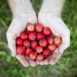 Hands full of fresh raw little wild red apples — Stock Photo #59692281