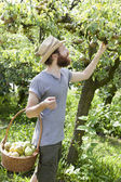 Young bearded boy farmer who gathers pears from trees with straw hat and basket — Stock Photo