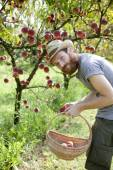 Young bearded boy farmer who gathers peaches from tree with straw hat and basket — Stock Photo