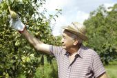 Granfather farmer who gathers pears from tree with straw hat and work gloves — Stock Photo