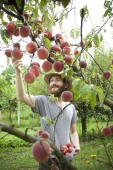 Bearded smiling boy farmer who gathers peaches from the orchard with straw hat — Stock Photo