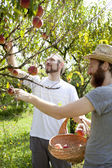 Two young bearded boys farmers that gathers peaches from tree with straw hat and basket — Stock Photo