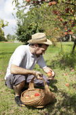 Young man farmer who gathers peaches from tree with straw hat and basket — Stock Photo