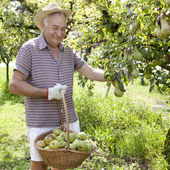 Smiling man granfather farmer who gathers pears from tree with straw hat and basket full of pears — Stock Photo