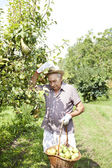 Granfather farmer who gathers pears from tree with straw hat and basket full of pears — Stock Photo